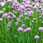 Chives-300x200
