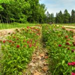 Holcomb Farm Dianthus